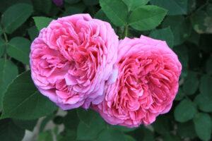 ESENCA TEDNA > Vrtnica